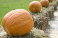 626_ - Pumpkin